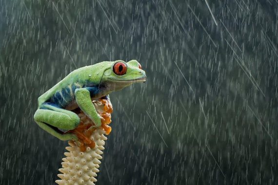 """Rainy day:"" Red-Eyed Tree Frog in West Java Photo: Hendy MP @hendymp, Indonesia - Agora"