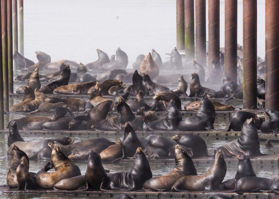 Калифорнийские морские львы, Роберт Поттс, США. Доки в Астории захвачены калифорнийскими морскими львами. Третье место в категории «города и природа»