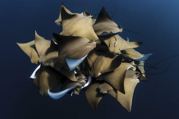 Редкая встреча со скатами, Алекс Кидд, Австралия. Большая группа восточноамериканских бычерылов (Rhinoptera bonasus), встреченная на рифе Нингалу, Западная Австралия. Третье место в категории «вода»
