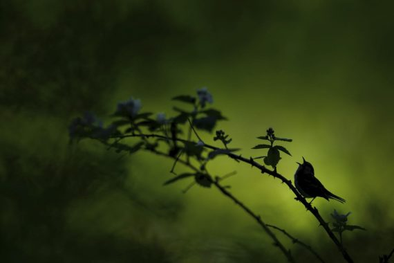 Поющий силуэт, Рэймонд Хеннесси, США. Певчая птица на фоне яркого леса. Второе место в категории «дикая природа»