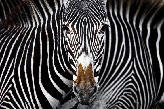 Иллюзия Греви, Ярон Шмид, США. Зебра Греви смотрит в камеру в Леве, Кения. Третье место в категории «дикая природа»